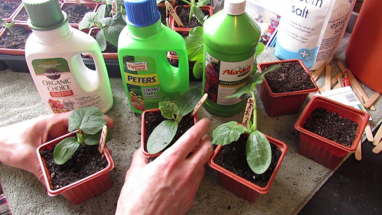 When How To Fertilize Your Squash Zucchini Cucumber
