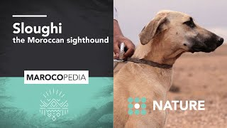 Sloughi: The Moroccan Sighthound faster than the wind