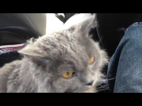 "Selkirk Rex cat, ""Regan"", in the car - Kimmaaay's Cat"