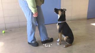 Eliza, A 1 Year Old Shepherd/australian Cattle Dog Mix Available For Adoption At The Wisconsin Human