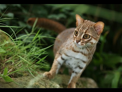Rusty Spotted Cat