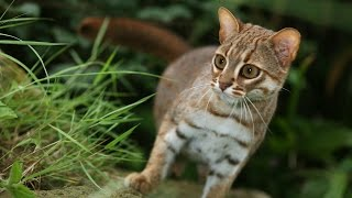 Rusty Spotted Cat サビイロネコ 検索動画 13