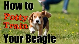 ***How to Potty Train your Beagle FAST!!!***