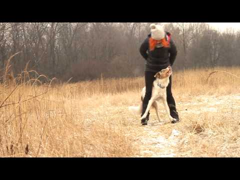 Border Collie Sorin - 10 months! Tricks, frisbee & obedience