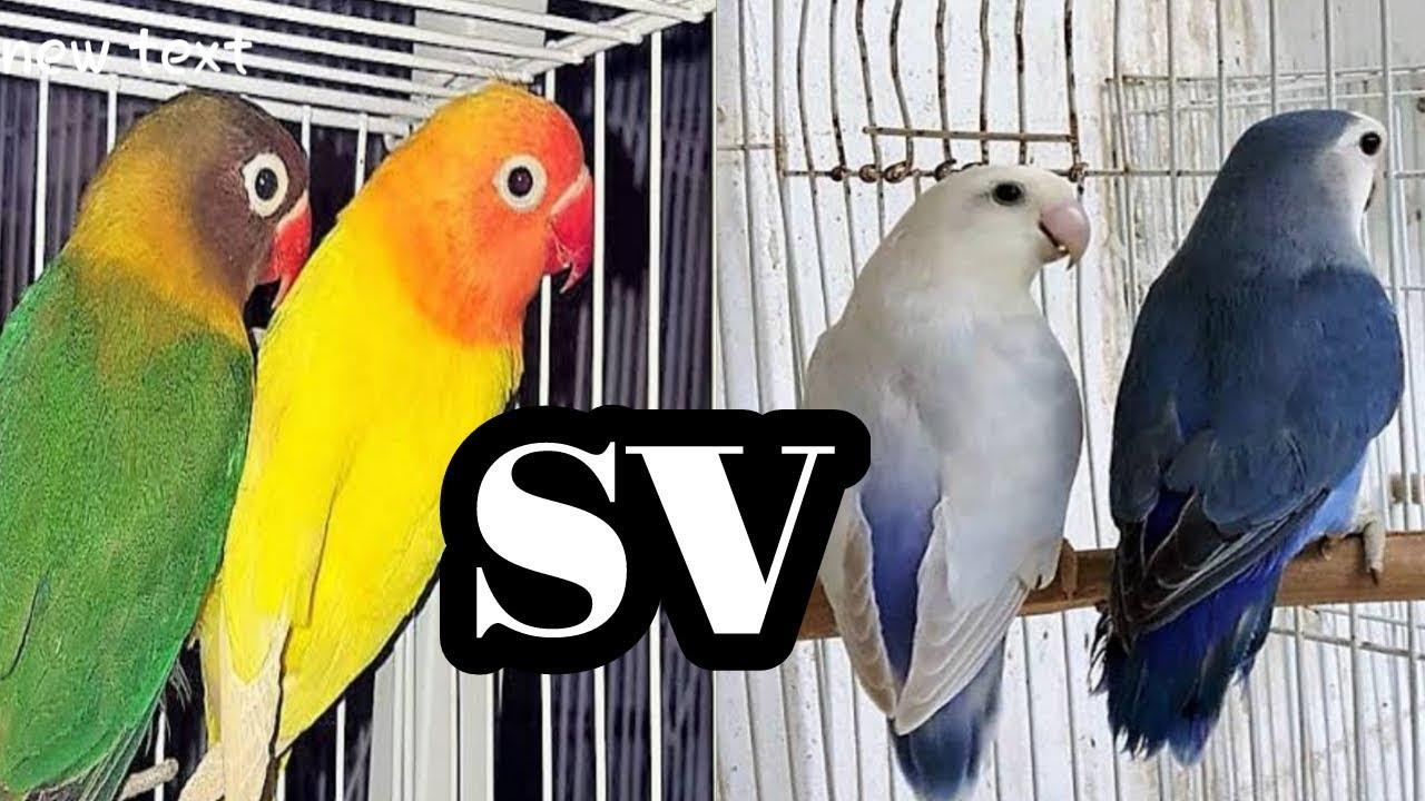 ايهما افضل واجمل من من ناحية الصوت والشكل طيور الروز ام طيور الفيشر Youtube