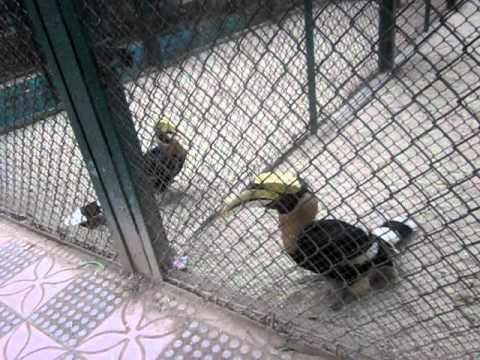 Chim Hồng Hoàng ở vườn thú Hà Nội - The Great Hornbill (Buceros Bicornis) at Hanoi zoo