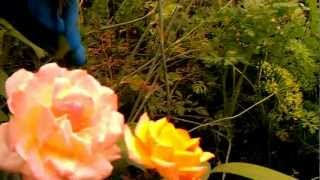 Уход за садовыми цветами на первом году цветения (ч.5)(Садовое цветоводство: уход за чайной гибридной розой