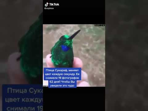Птица сукараф меняет цвет
