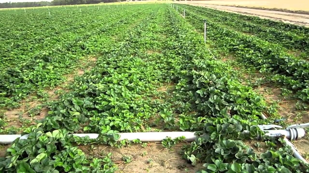 Vivero planta de fresa splendor agosto 2010 youtube for Matas de viveros