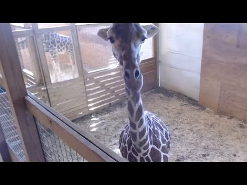 Thumbnail: Pregnant woman dresses as giraffe to spoof zoo's live-stream