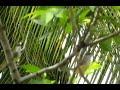 Burung Ciblek Di Alam Liar  Mp3 - Mp4 Download