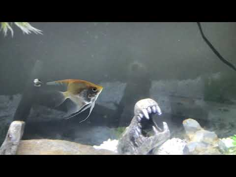 29 Gallon Community Tank: Angelfish, Gourami, Red Tail Shark, Mollies, Cory Cat