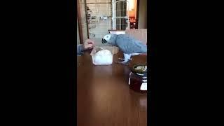 Попугай сам открывает банки с едой