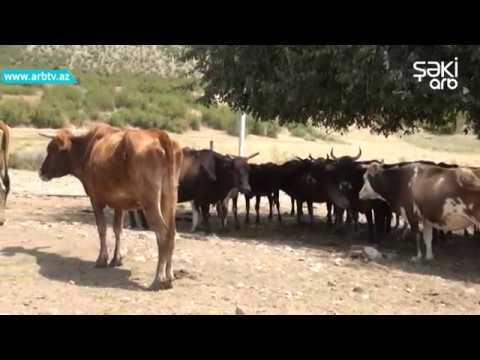 Ismayillida ineklerin sud vezileri kesilib