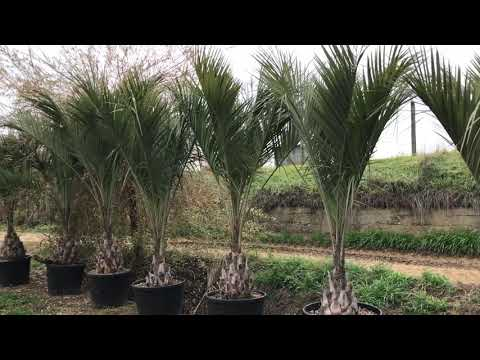 Butia capitata at Big Plant Nursery