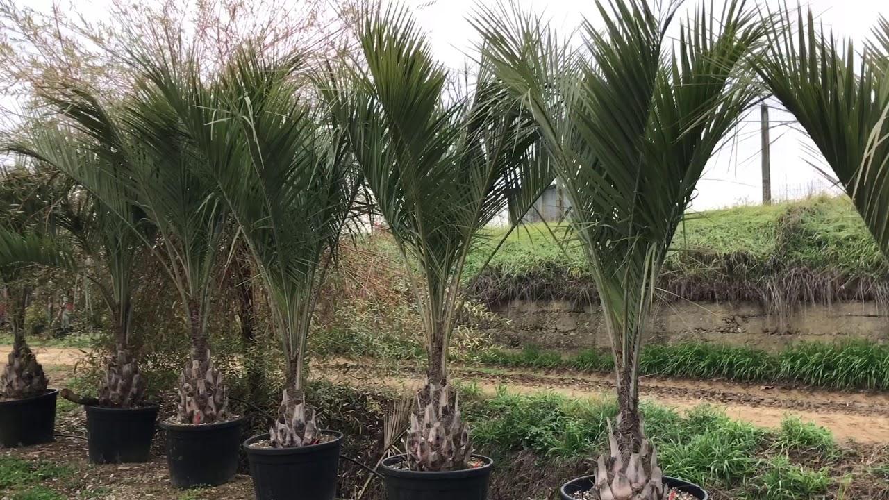 Butia Capitata At Big Plant Nursery Youtube