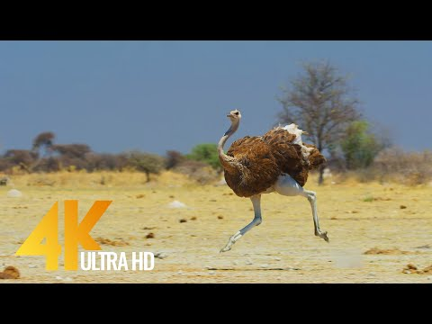 Ostrich - the Flightless Bird - 4K African Wildlife Documentary Film with Narration
