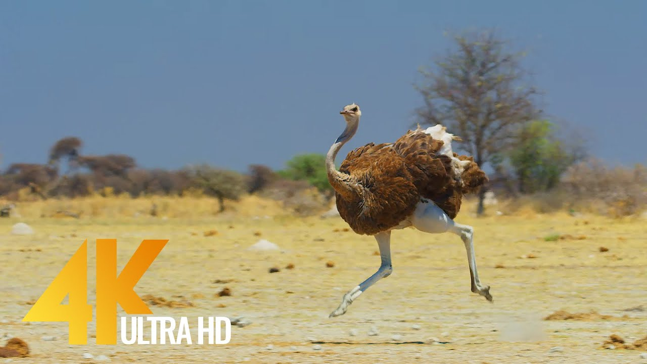 4K Ostrich the Flightless Bird - African Wildlife Documentary Film with Narration