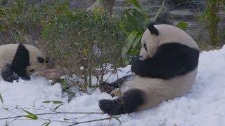 Снежная терапия: как в Китае поднимают настроение пандам