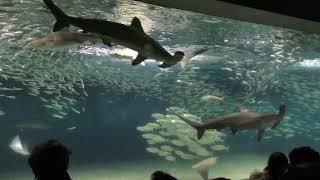 アカシュモクザメのスポットガイド (葛西臨海水族園) 2017年12月17日