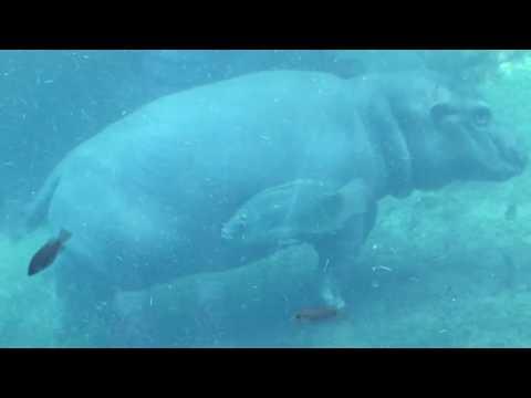 Cincinnati Zoo Bibi Protects Fiona
