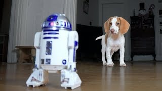 Cute Puppy vs. R2D2: Cute Puppy Potpie, Funny Dogs Maymo & Penny