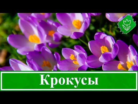 Цветы крокусы – посадка и уход в саду, выращивание крокусов – когда выкапывать и сажать