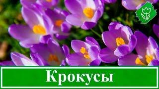 Цветы крокусы – посадка и уход в саду, выращивание крокусов – когда выкапывать и сажать(, 2016-01-28T08:28:23.000Z)