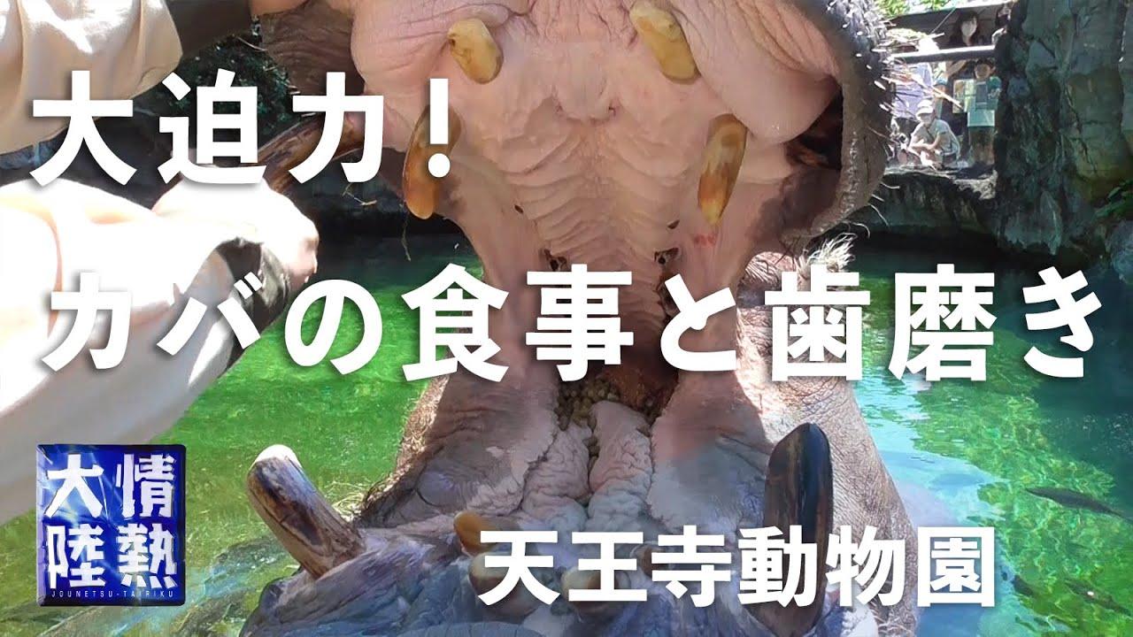 【大迫力!】動物園の飼育員さんにカメラを渡したら… / カバの歯磨き・チンパンジーの健康診断・キリンの舌ほか Hippo, Chimpanzee, Giraffe, etc.