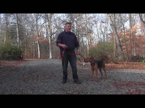 airedale-terrier-training-|-winston-salem-nc-|-newman