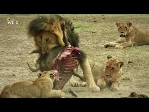 Nat Geo Wild: Дикие охотники 1 серия - Кошки 2019 - Видео онлайн