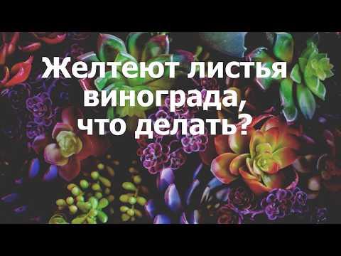 Вопрос: По какой причине листья винограда желтеют, а потом начинают усыхать?
