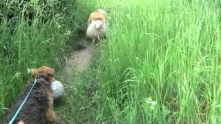 Airedale Terrier Schwimmt Im Teich