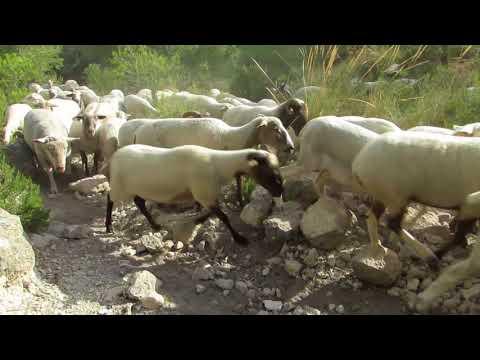 Una tarde con un ganado de ovejas y cabras