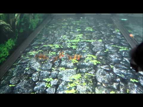 Bể cá rồng nhà anh Phong Hào