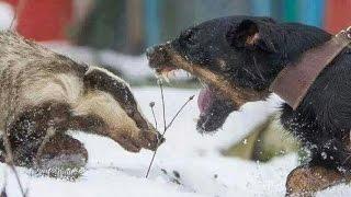 Охота с ягдтерьером на лис 2016