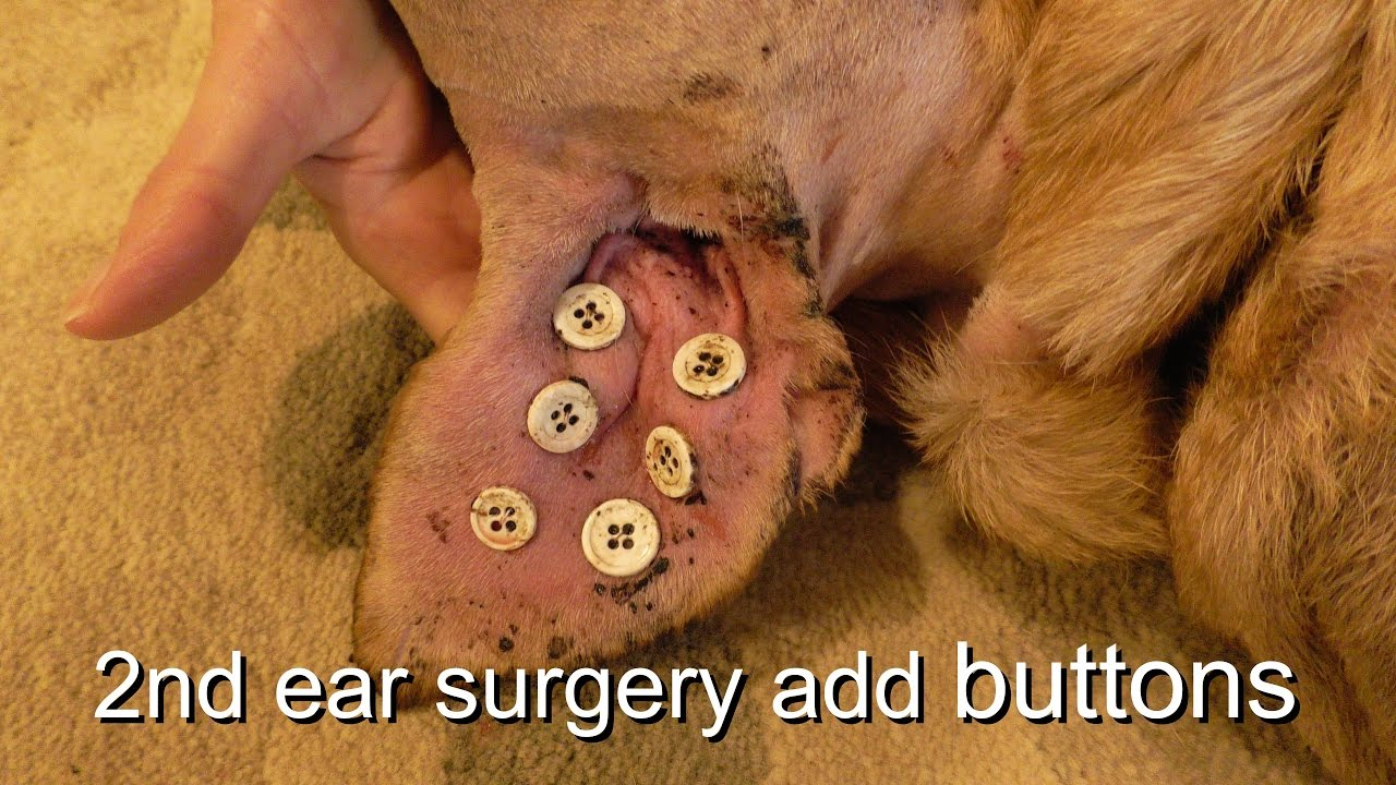 Dog Ear Hematoma Repair Buttons Youtube