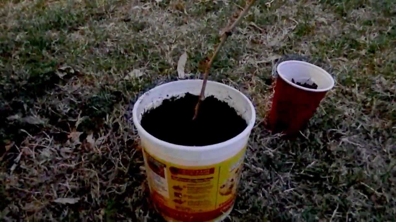 How To Grow a Grape Vine from a Cutting  YouTube