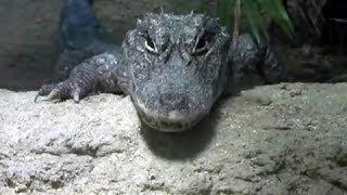 ヨウスコウワニ ヨウスコウアリゲーター Chinese alligator 爬虫綱