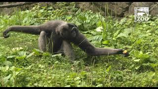 Orangatan (Henry) Muellers Gibbon (Lance) Getting Use to Each Other - Cincinnati Zoo