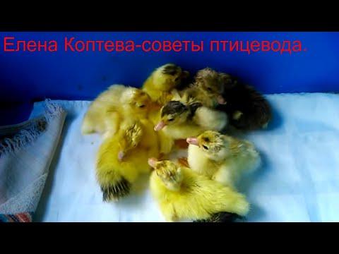Почему утки дергают перья и едят их