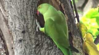 Indian Ringneck parrot digging  nest in tree for breeding