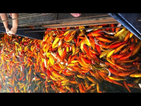 MASSIVE Number Of JAPANESE KOI On A MAN-MADE LAKE In Laguna Philippines