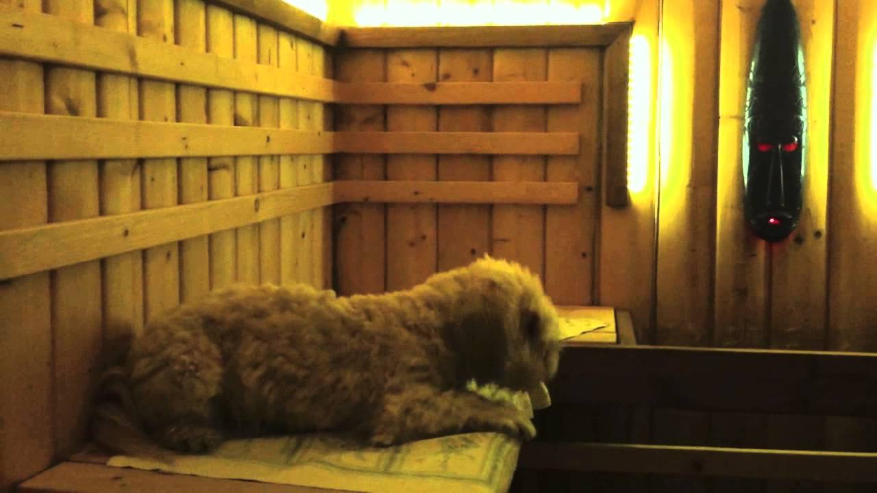 Finnish Dog Likes Sauna Youtube