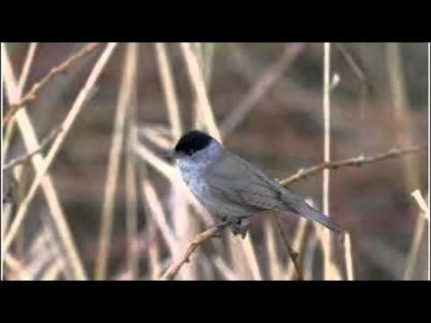 Blackcap Bird Call Bird Song