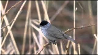 Blackcap Bird Call Bird Song