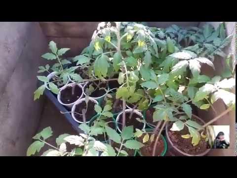 Высаживаем рассаду томатов в грунт.