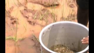 Organic control of Bacteria leaf blast Odia Kendar September
