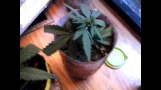 Transplanting Clone / Minimal Topping | Indoor Cfl Cannabis Grow Cabinet Experiment Closet