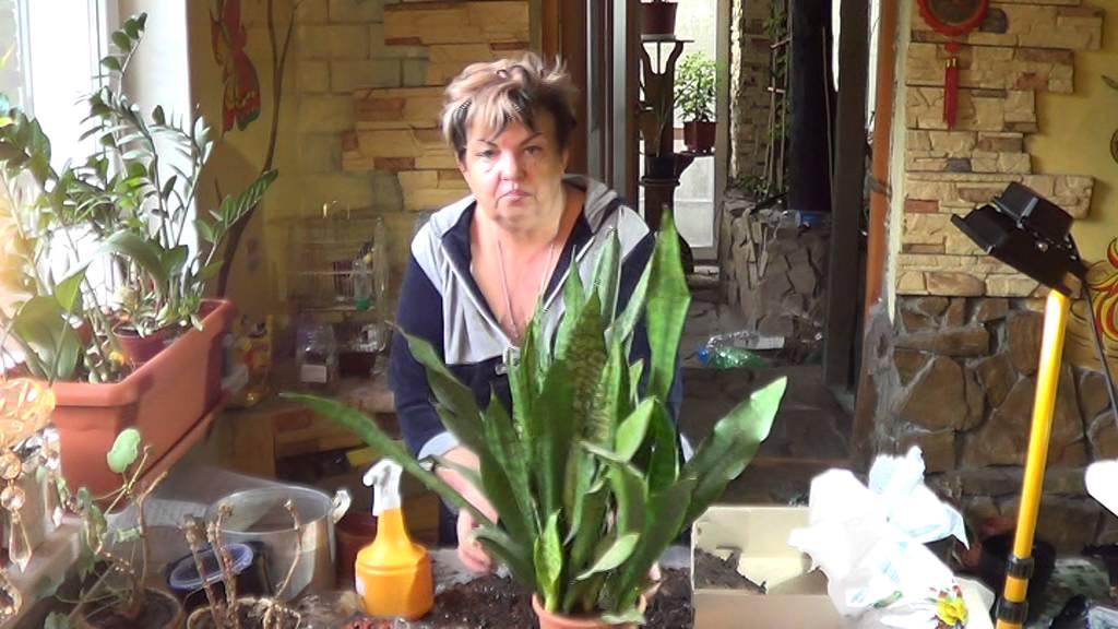 Сансевьера ( Щучий Хвост, Змеиная Кожа). Невероятно Живучее Комнатное Растение.